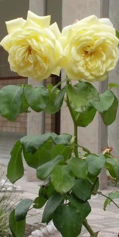 dos-rosas-amarillas