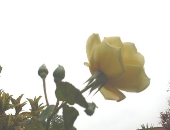 mi-rosa